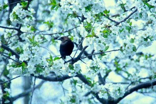 Brown-headed cowbird in Cherry Tree copy