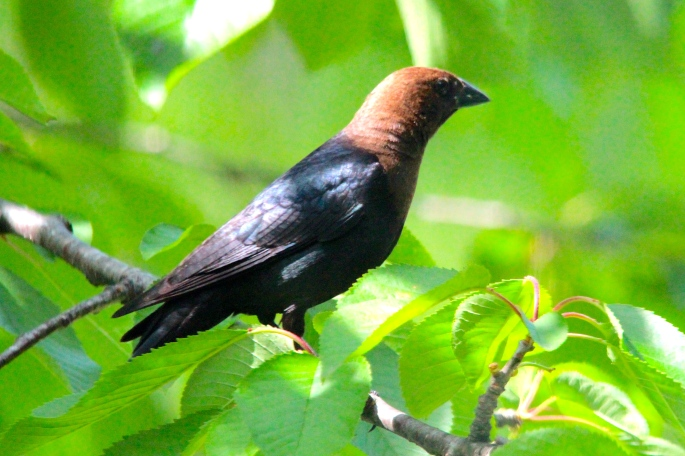 Brown-headed Cowbird*