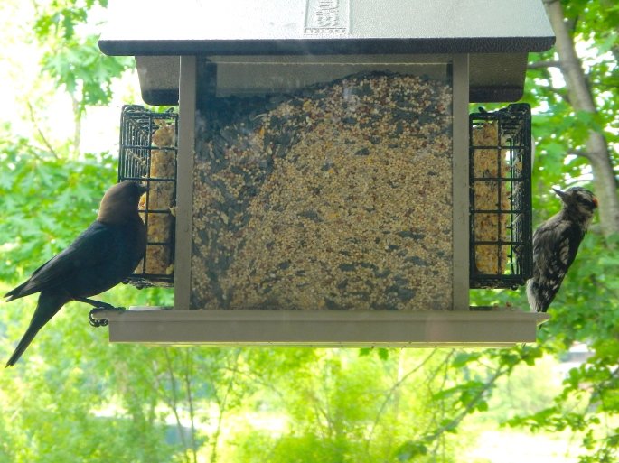 Cowbird and Woodpecker