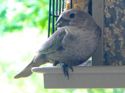 Female Cowbird B-H