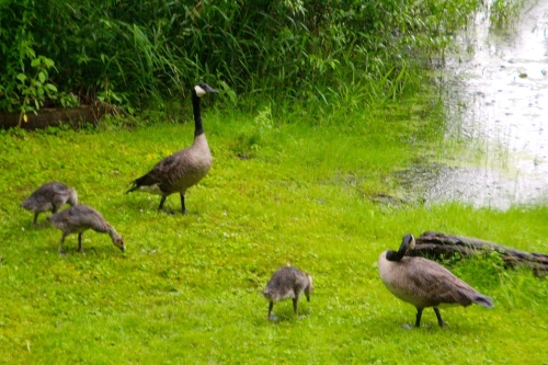 Goslings on lawn