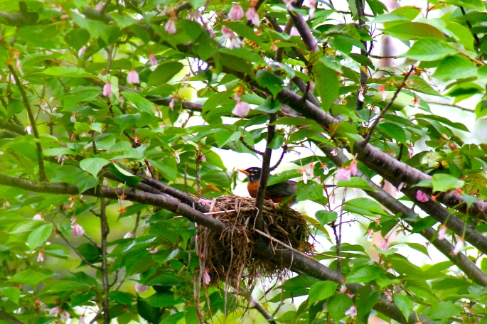 Mother Robin 05.17.06
