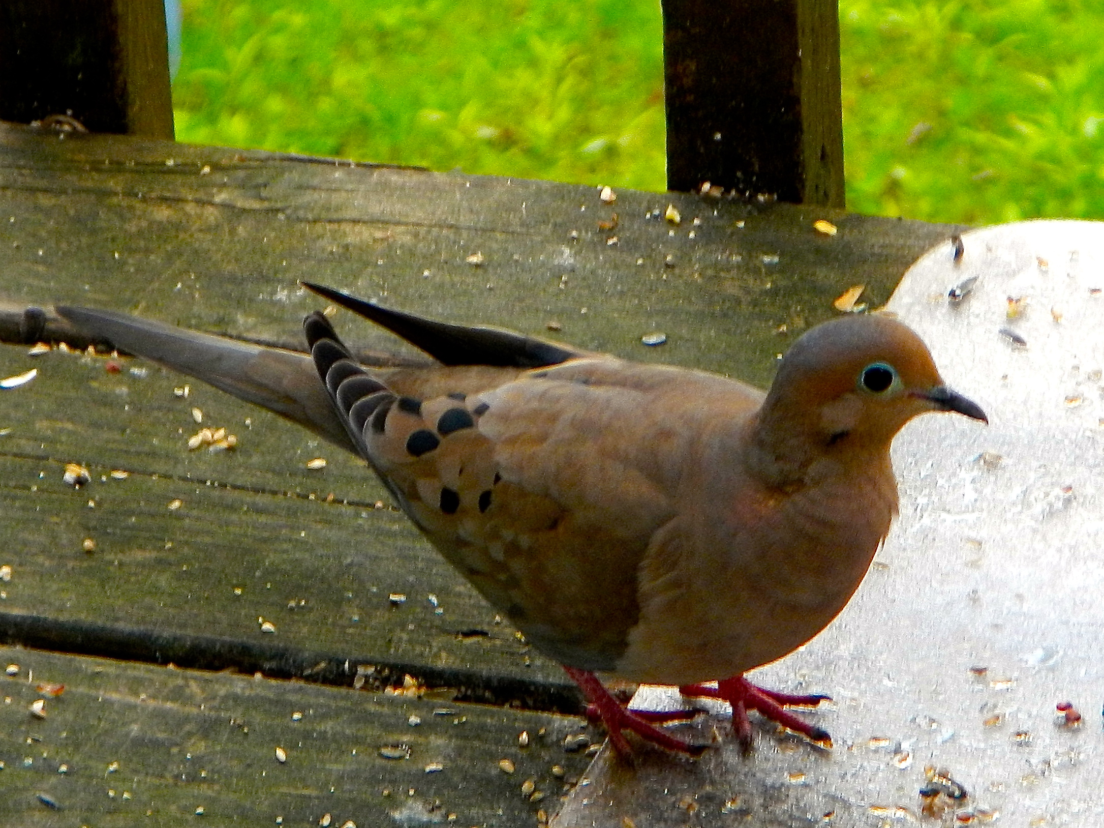 A few of my favorite birds 4 mourning doves dedicated parents mourning dove 252714 buycottarizona