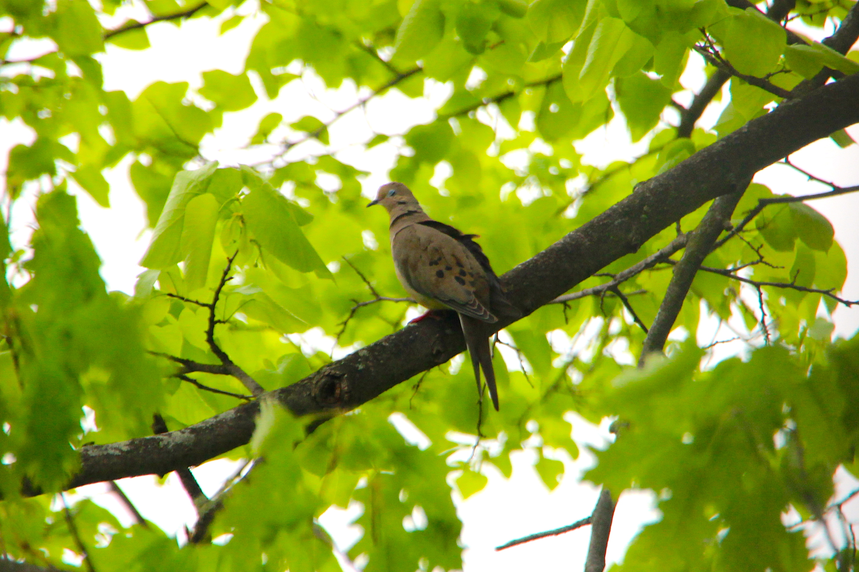A few of my favorite birds 4 mourning doves dedicated parents mourning dove 52714 buycottarizona
