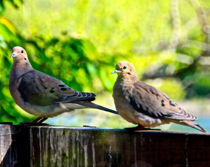 Mourning Doves copy