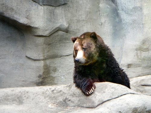 Bear resting