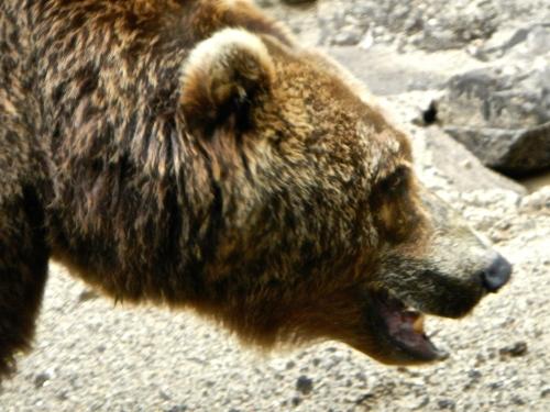 Bear's Head Close up