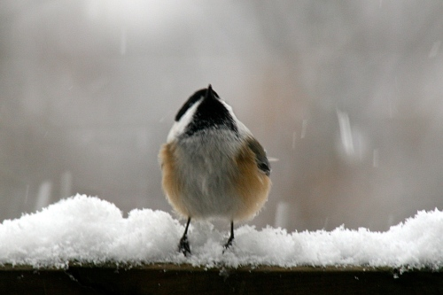 Chickadee in Snow looking up