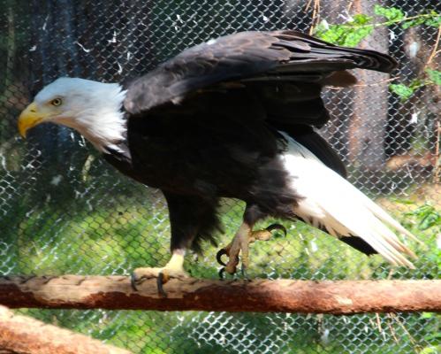 Bald Eagle 7.31.14