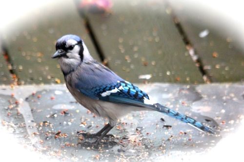 Blue Jay checking me out