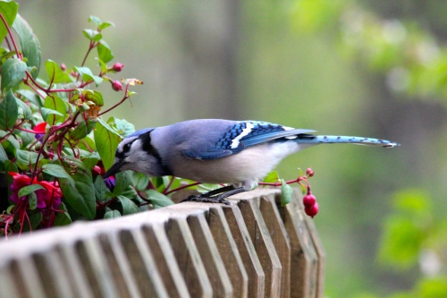 Blue jay checking out fuschia