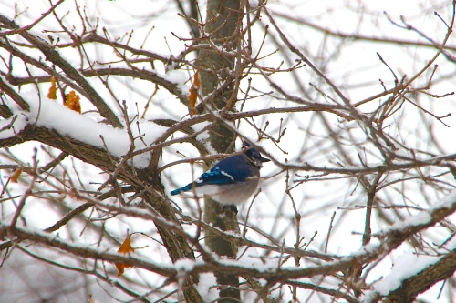 Blue Jay Keeping Warm