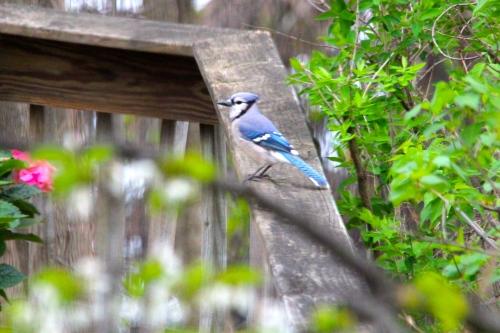 Blue Jay on a railing