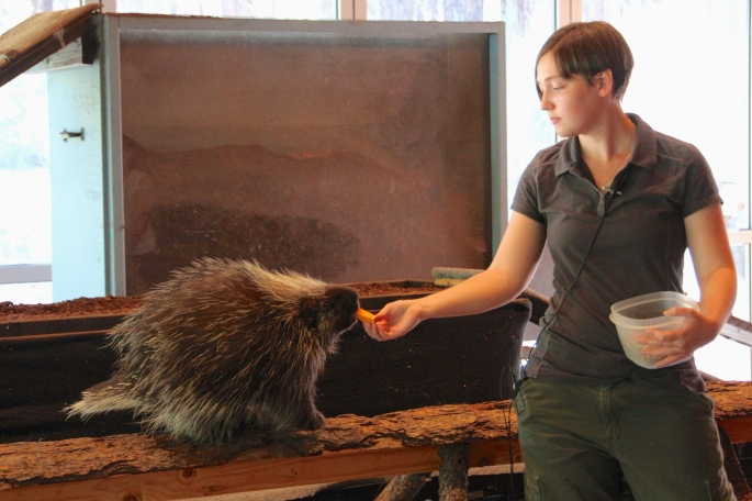 Feeding Porcupine