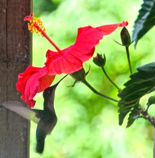 Hummingbird 07.03.14
