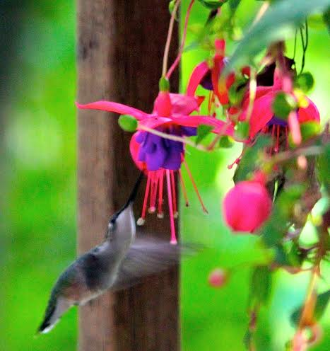 Hummingbird. 07-14-14
