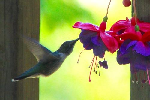 Hummingbird 08.15.14