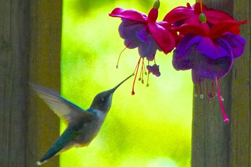 Hummingbird. 1