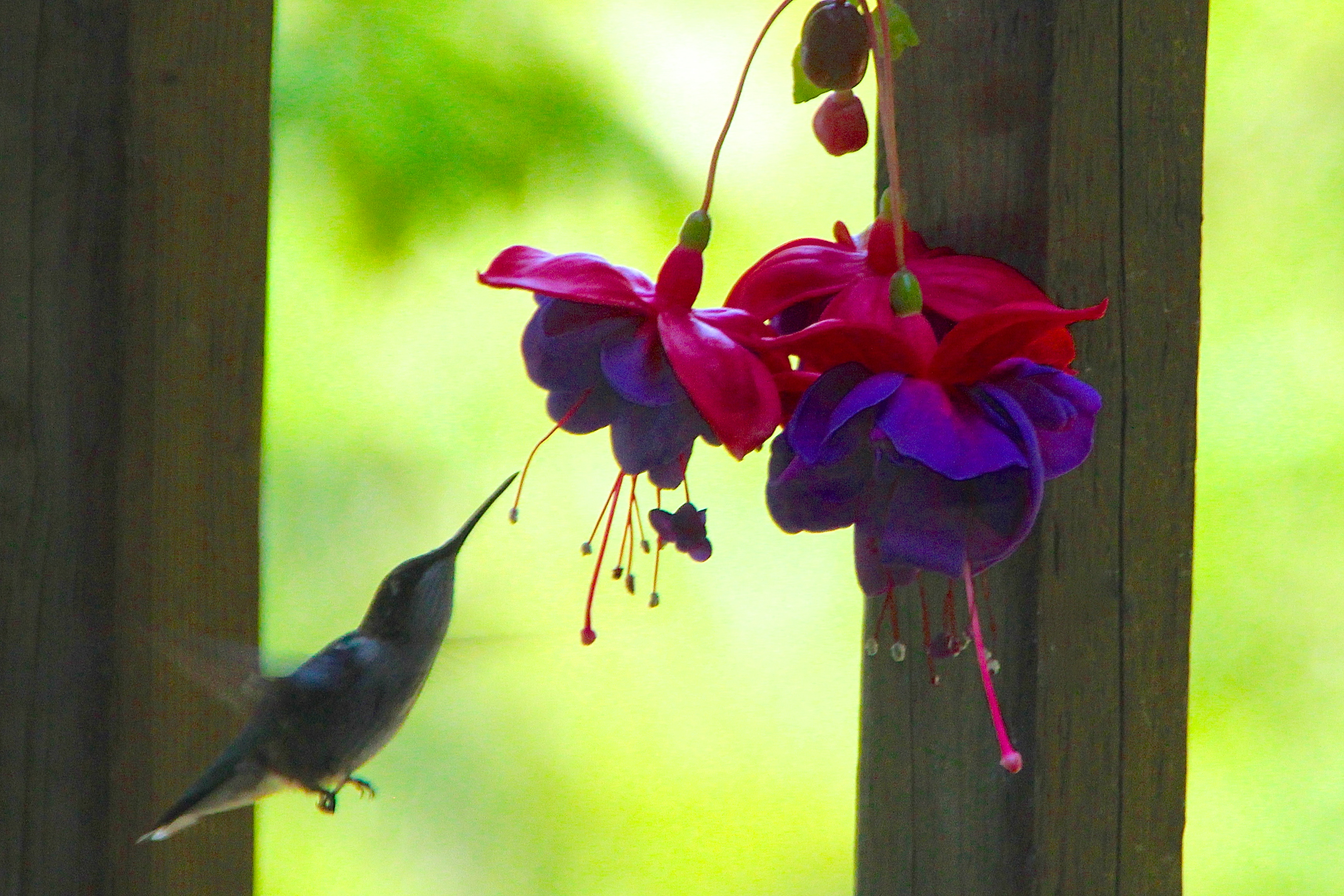 Identifying Ruby throated hummingbirds photos of hummingbirds information a