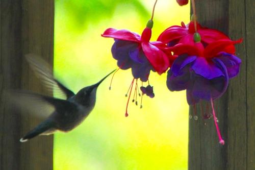Сад колибри
