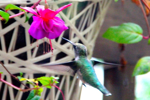 Hummingbird from Back