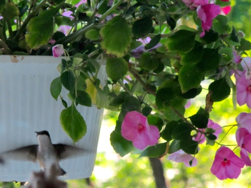 Hummingbird impatiens