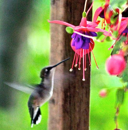 Hummingbird in Fuschia 07.14.14