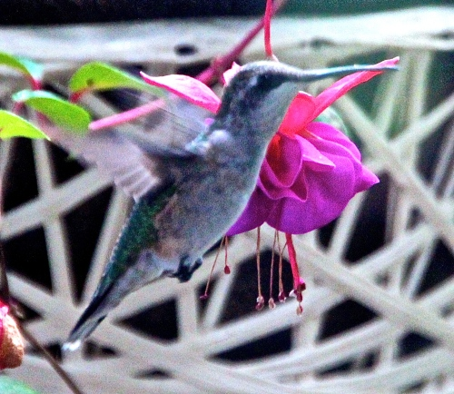 Hummingbird. Side. Wings and feet