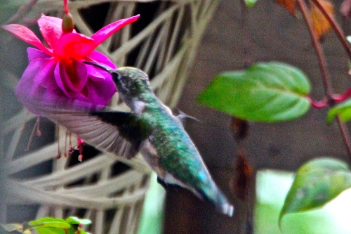 Hummingbird Sipping Nectar