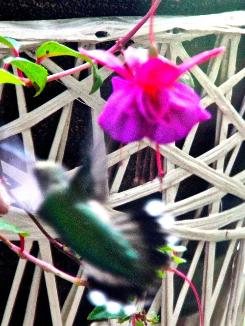 Hummingbird. Tail feathers spread