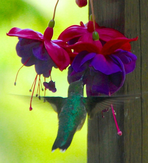 Ruby-throated humming bird 1