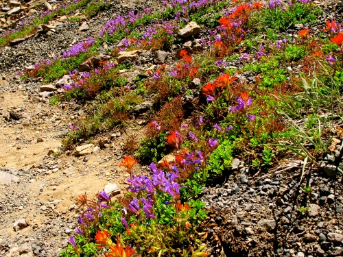 Wildflowers on Obsidian Flow. OR
