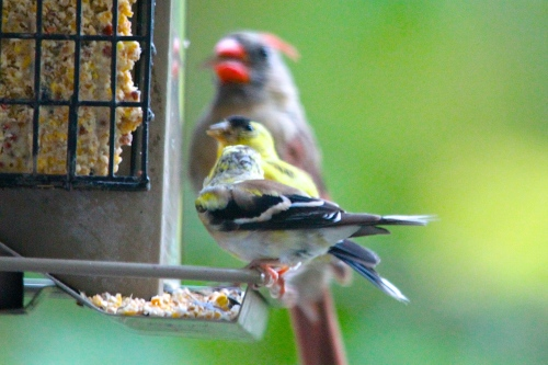 2 Goldfinches with Cardinal