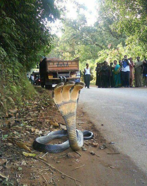 3-headed cobra. India