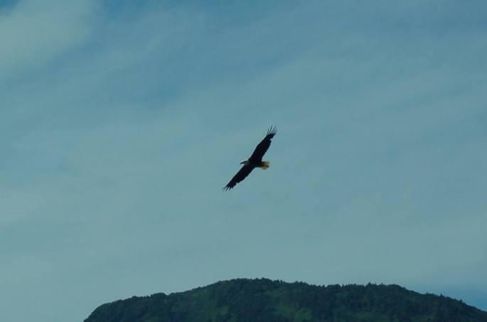 Bald Eagle (EJ Magnuson)
