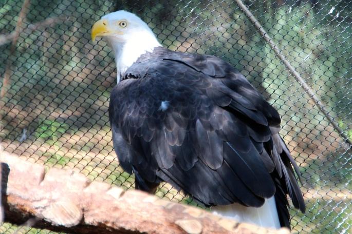 Bald eagle fluffy feathers