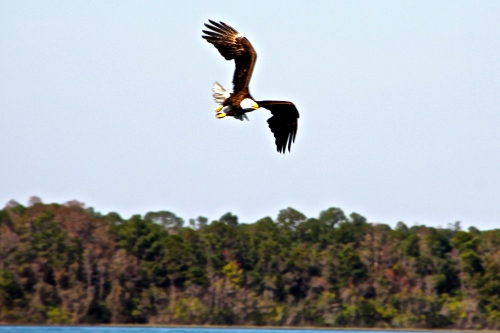 Bald Eagle over our lake 1.31.13