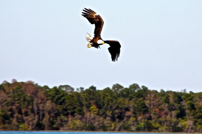 Bald Eagle over our lake 1.31.13