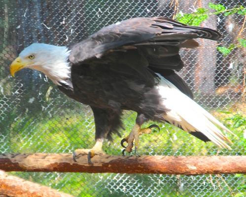 Bald-headed Eagle Wings