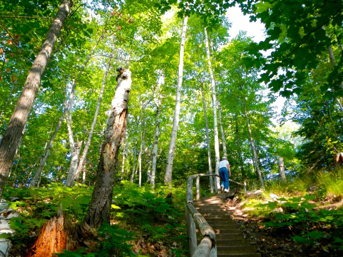 Birches along North Country Trail