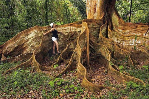 Buttress Tree Roots, Costa Rica