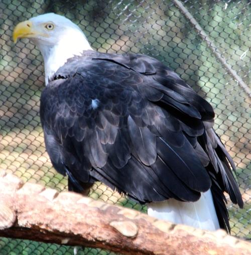 Eagle Fluffy Feathers