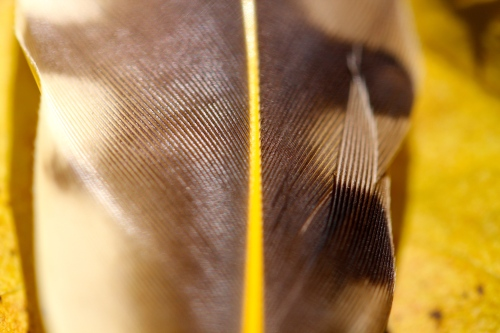 Feather. Close up