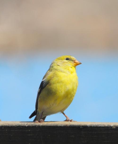 Finch. Gold 2