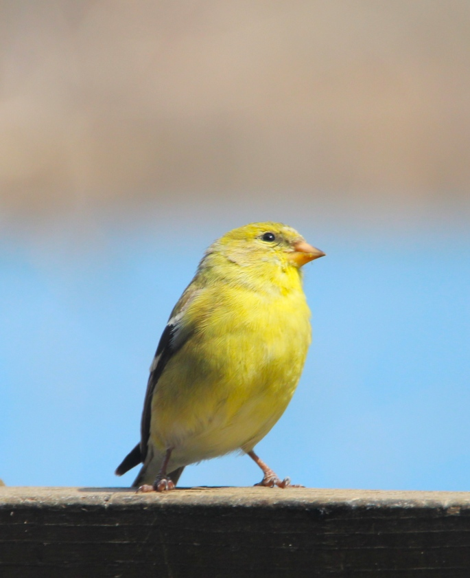 Finch. Gold 2