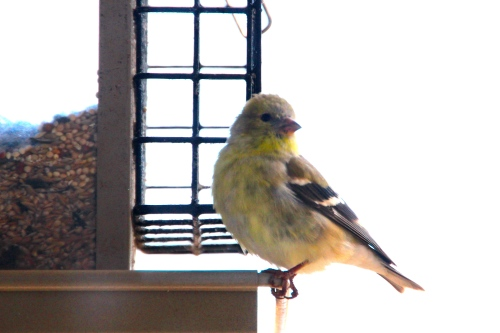 Finch. Gold 3