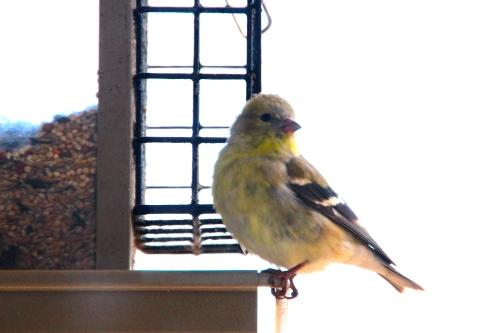Finch. Gold 3