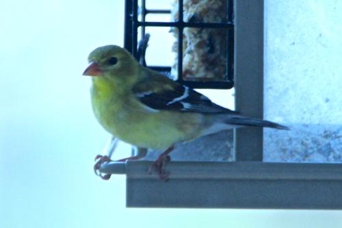 Gold Finch. Female