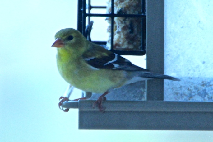 Gold Finch. Female