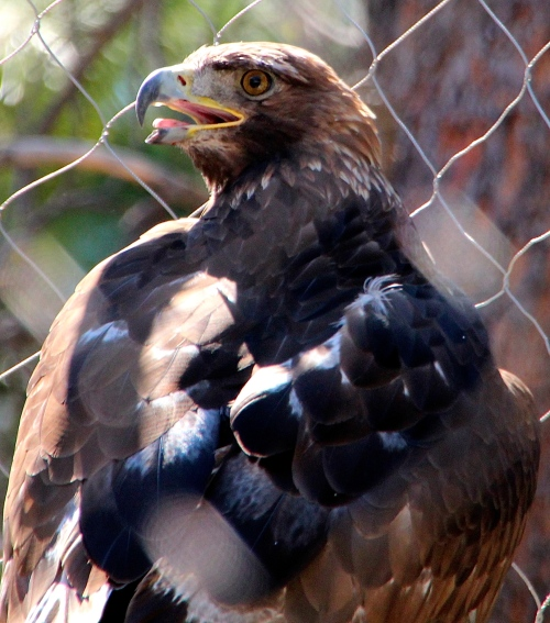 Golden Eagle 1